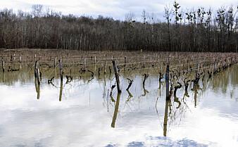 Kostbare frostskader i Frankrike kobles til klimaendringer