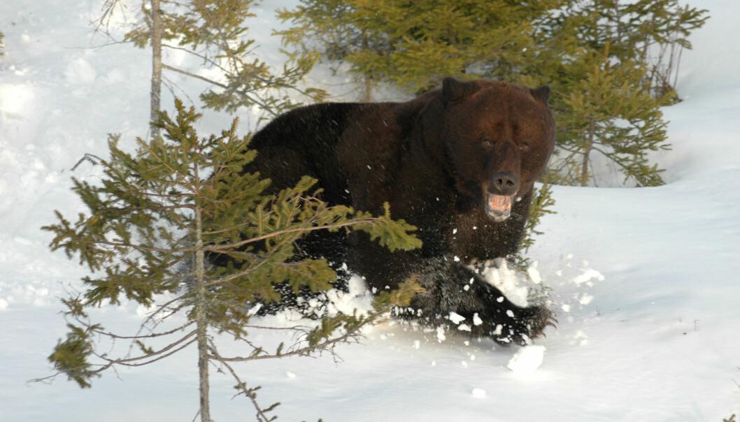 153 blodprøver fra bjørner er undersøkt for blyinnhold. Ennå har de ikke alle svar på hvor blyet kommer fra.