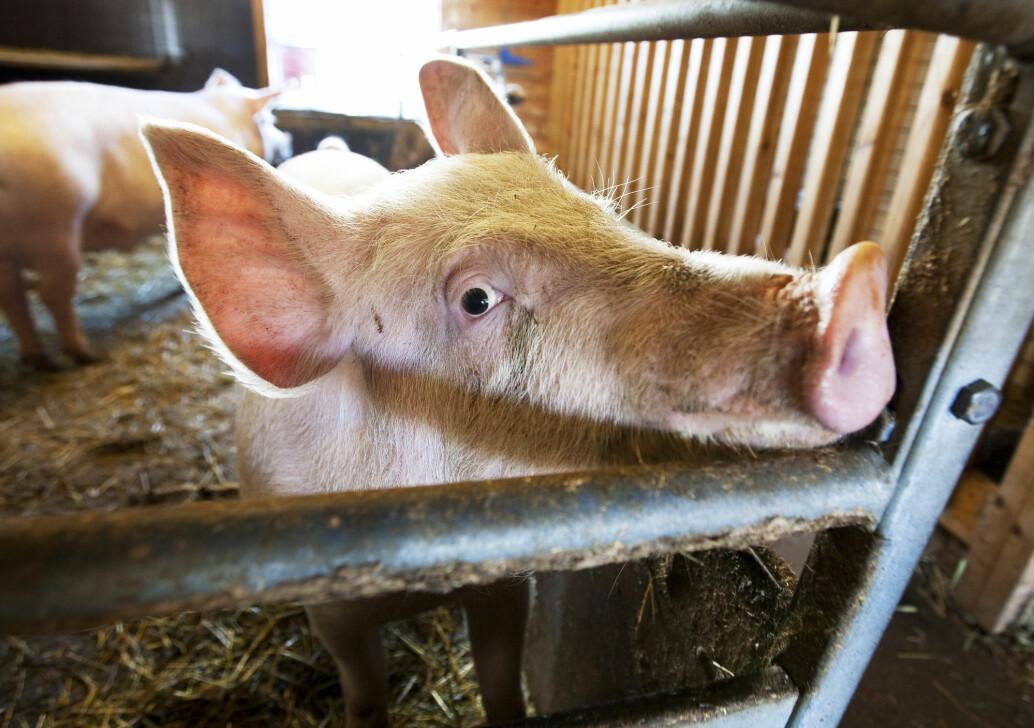 Folk er de siste årene blitt mye mer opptatt av at dyrene vi spiser skal ha det bra. Men støtten til dyrevernorganisasjonene har falt kraftig.