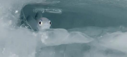 Nå vet forskerne at de trenger mye mer kunnskap om den lille polartorsken