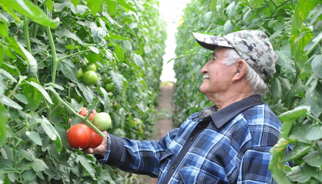 Denne armenske bonden dyrker fine tomater. Han savner likevel de tradisjonelle plantesortene.
