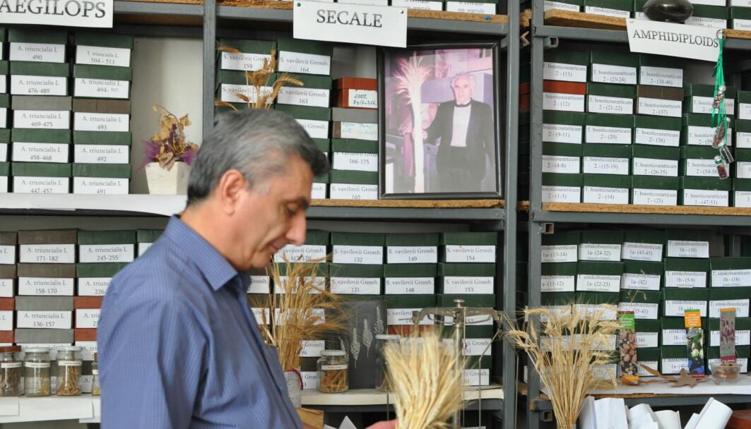 Andreas Melikyan er lederen for genbanken ved det statlige landbruksuniversitetet i Armenia. Her viser han fram en av de mange tradisjonelle hvetesortene i landet.