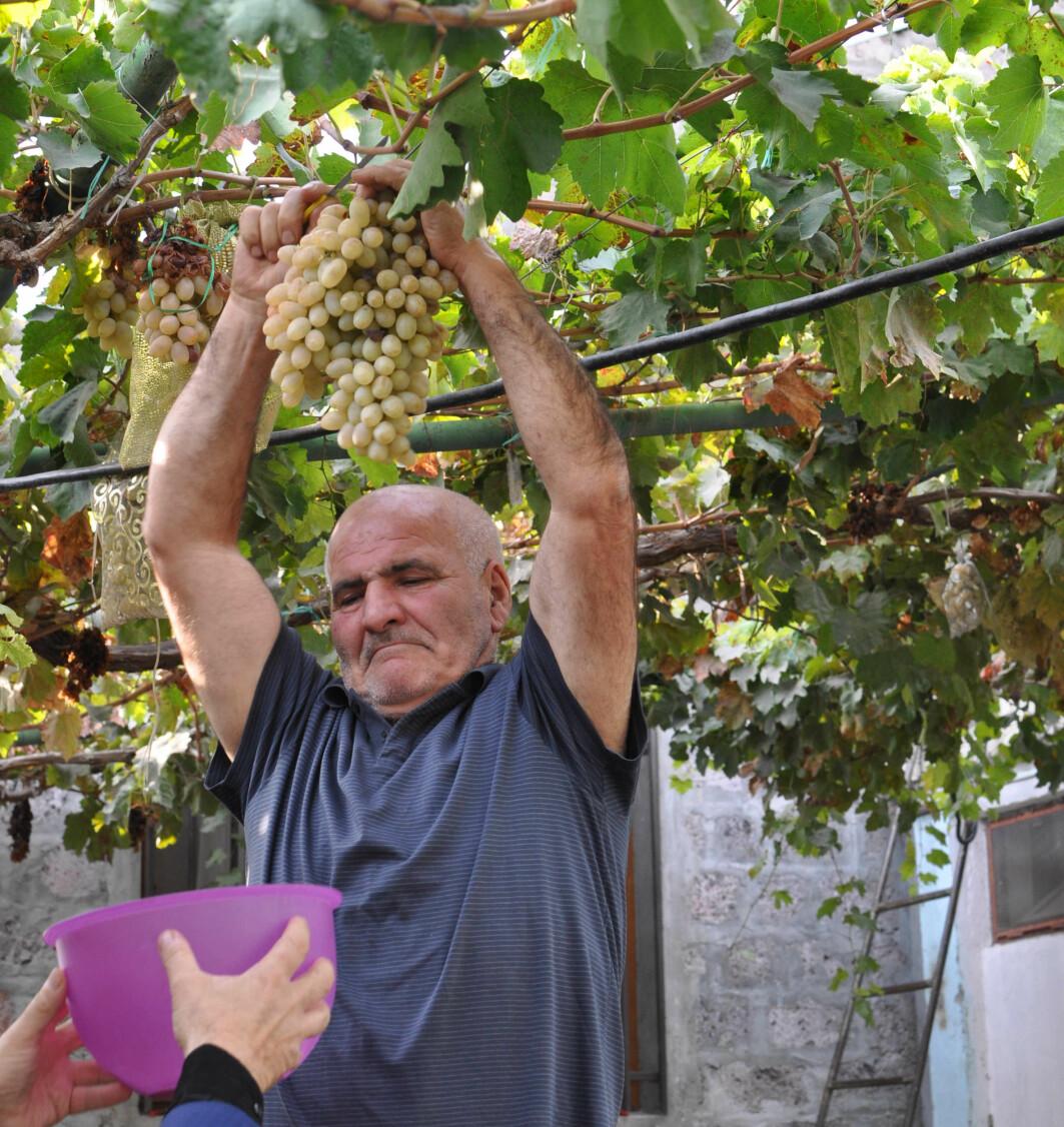 Bonden Simon Jamalyan sier at folk i Armenia mener at vindruens har sin opprinnelse i landet. Armenia har et stort mangfold av vindruesorter. Her plukker han vindruer for å by gjestene sine på en smak.