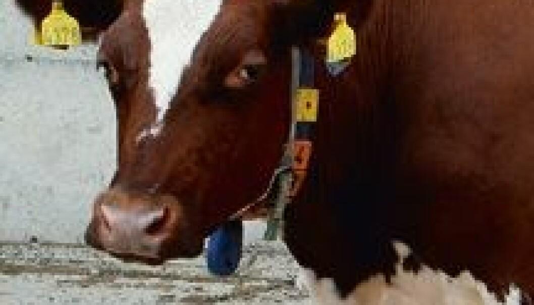 Jakt på fruktbare gener hos kua