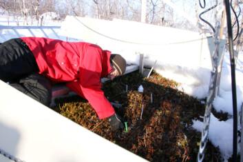 Forsker Gareth Phoenix fra Universitetet i Sheffield gjør målinger på vegetasjon som ikke har hatt snødekke ved bruk av infrarøde lamper. Krøkebærplantene er brune etter tre vintre med simulerte klimaforstyrrelser. Foto: Jarle W. Bjerke, NINA.