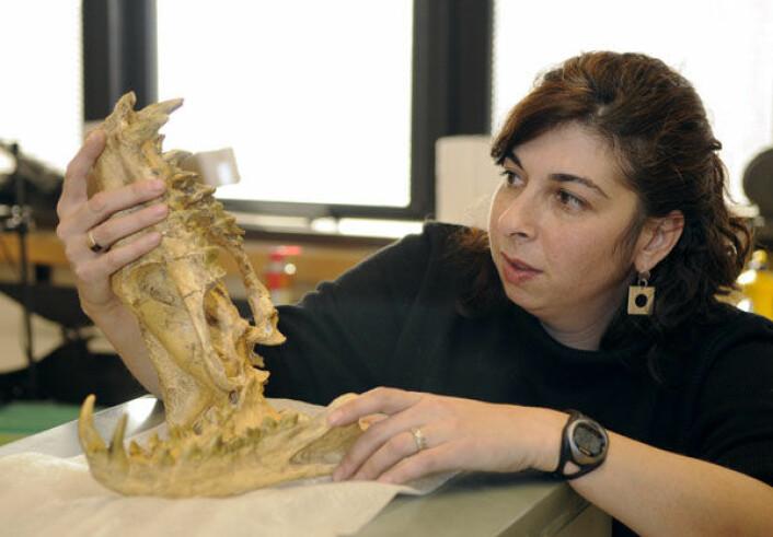 Et internasjonalt forskerteam har kartlagt hvordan store pattedyr tok over etter dinosaurenes endelikt. Forsker Jessica Theodor ved University of Calgary med skallen av en Hyaenodon, et kjøttetende pattedyr som levde for mellom 42 og 5 millioner år siden. (Foto: Riley Brandt/University of Calgary)