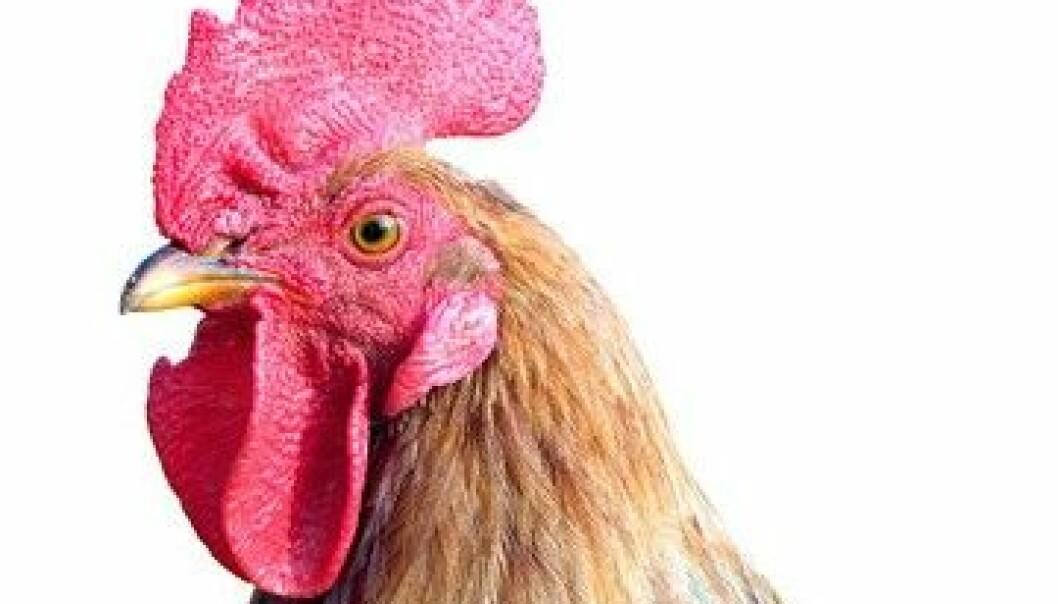 Høner med en tumor eller cyste i eggstokken kan skifte kjønn til haner. Siden vi ikke har rettighetene til å vise et bilde av den virkelige Gertie/Bertie, er dette et illustrasjonsfoto fra Colourbox. Se den virkelige høna/hanen ved å følge lenke under artikkelen.