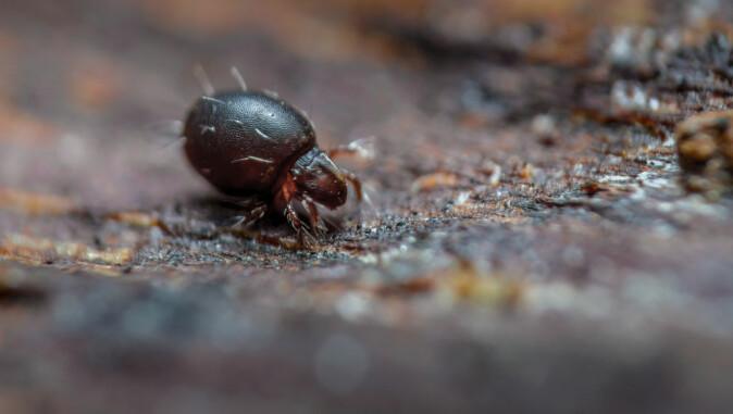 Pansermiddene er i slekt med edderkopper og finnes nesten overalt, fra næringsrik skogbunn til golde områder i Arktis.