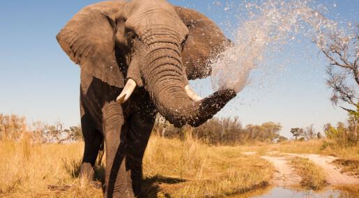 Suger i 540 km/t: Elefantens snabel er et verktøy uten like