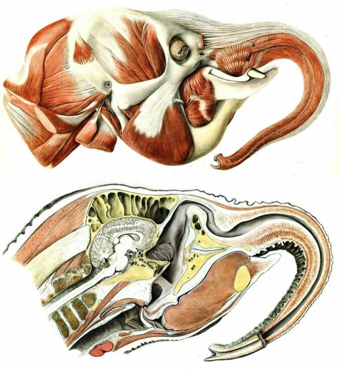 Elefantens unike fysikk har lenge vært kilde til fascinasjon og forskning. Her ser vi to anatomiske illustrasjoner av en indisk elefant, Elephas maximus indicus, fra 1899.