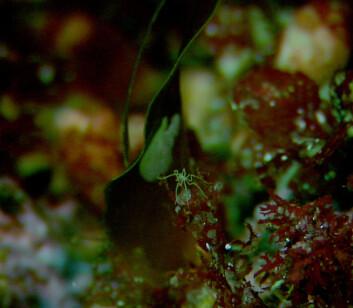 Havedderkopp. (Foto: MAREANO/Havforskningsinstituttet)