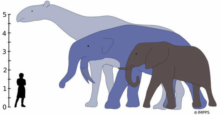 De største land-pattedyr som noengang har levd, Indricotherium og Deinotherium, ville ha raget over en nålevende afrikansk elefant. Indricotherium, som strekker seg høyest på denne illustrasjonen, levde for mellom 37 og 23 millioner år siden. Deinotherium levde for mellom 8,5 og 2,7 millioner år siden. (Illustrasjon: Alison Boyler/Yale University)