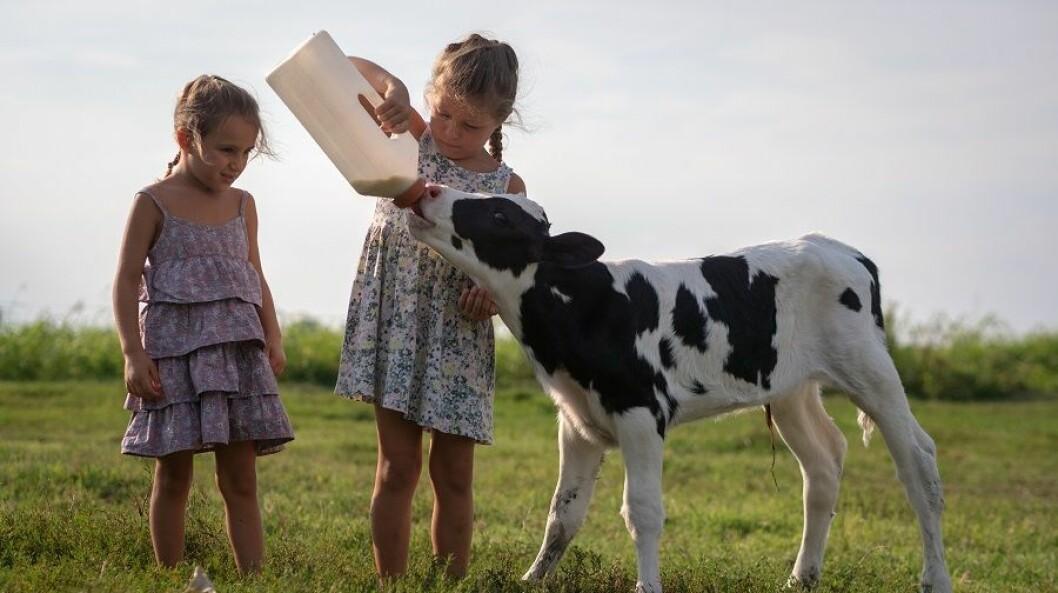 STEC smitter i hovedsak mest på sommeren og høsten via direktekontakt med kveg og smittet mat som f.eks. en dårlig stekt hamburger, upasteurisert melk og uren salat.