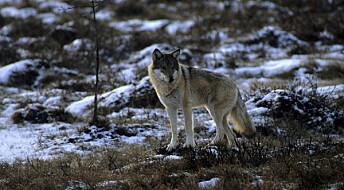 Flere finske ulver kan komme til Norge