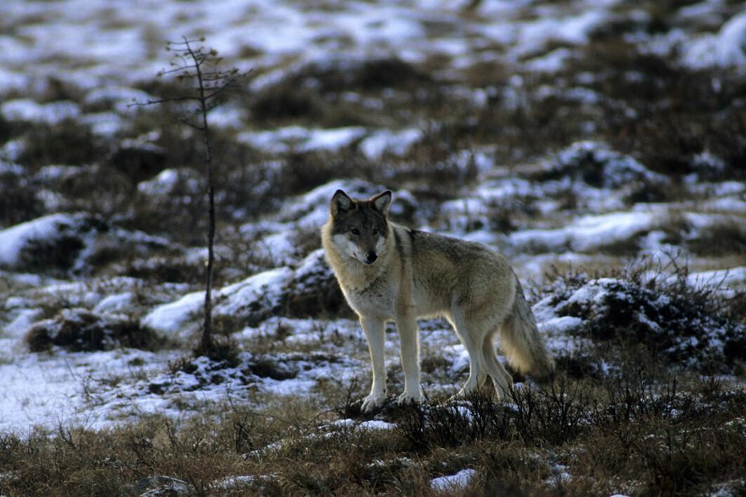 – Overvåkingen i Finland viser at ulvebestanden i landet er i vekst. Fordelingen av ulv i landet er også endret, forklarer Øystein Flagstad, seniorforsker i Rovdata.