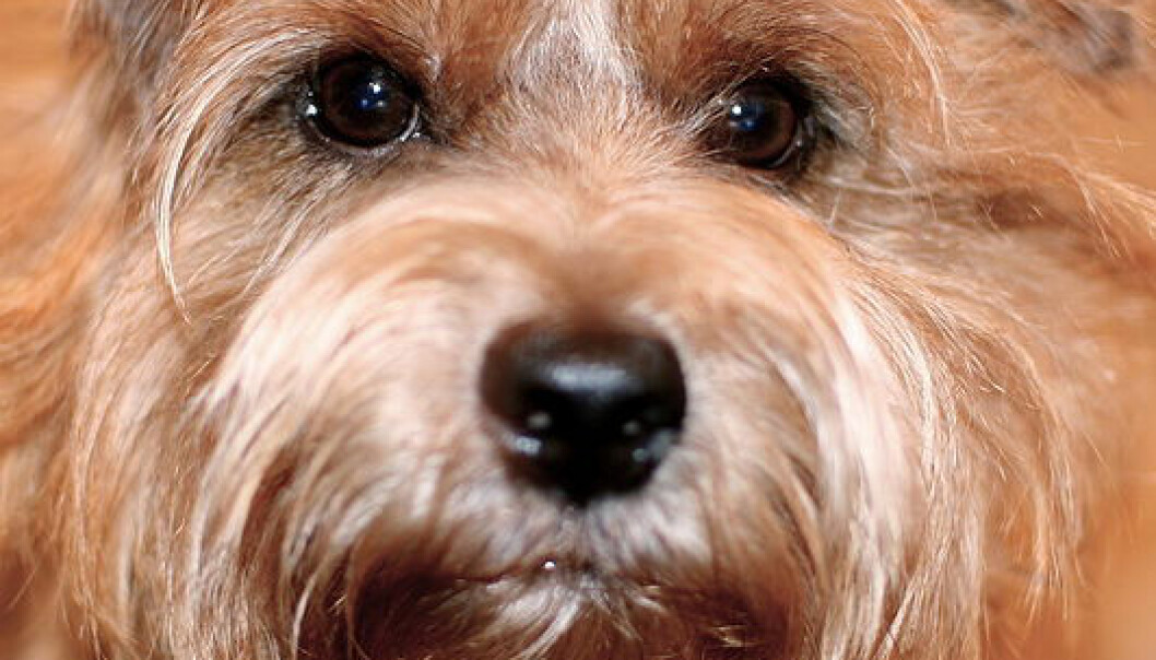 Norfolk terrier (Foto: Wikimedia Commons)