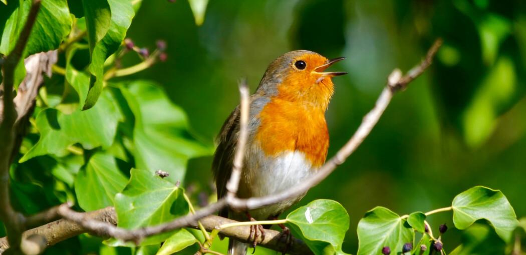 Hvorfor synger fuglene så høyt tidlig om morgenen?