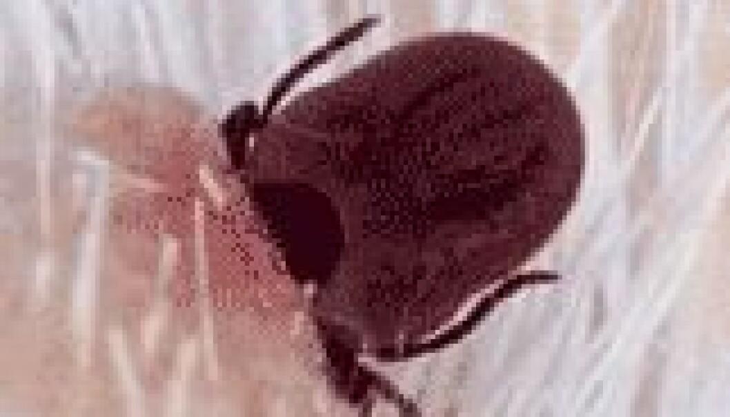 Flått kan overføre en rekke sykdommer