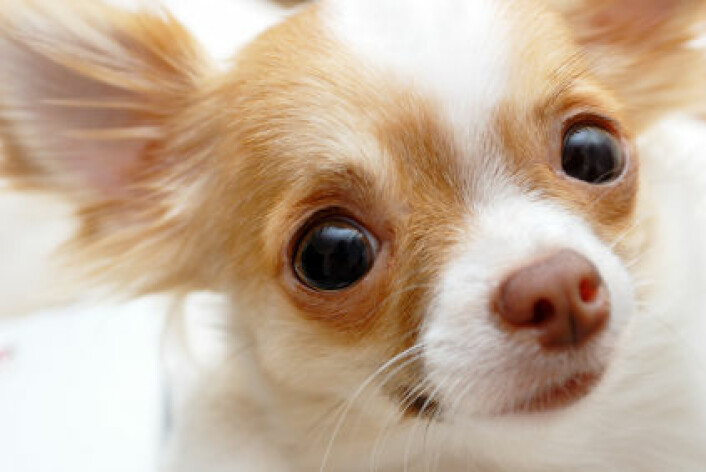 Chihuahua. (Illustrasjonsfoto: www.istockphoto.com)