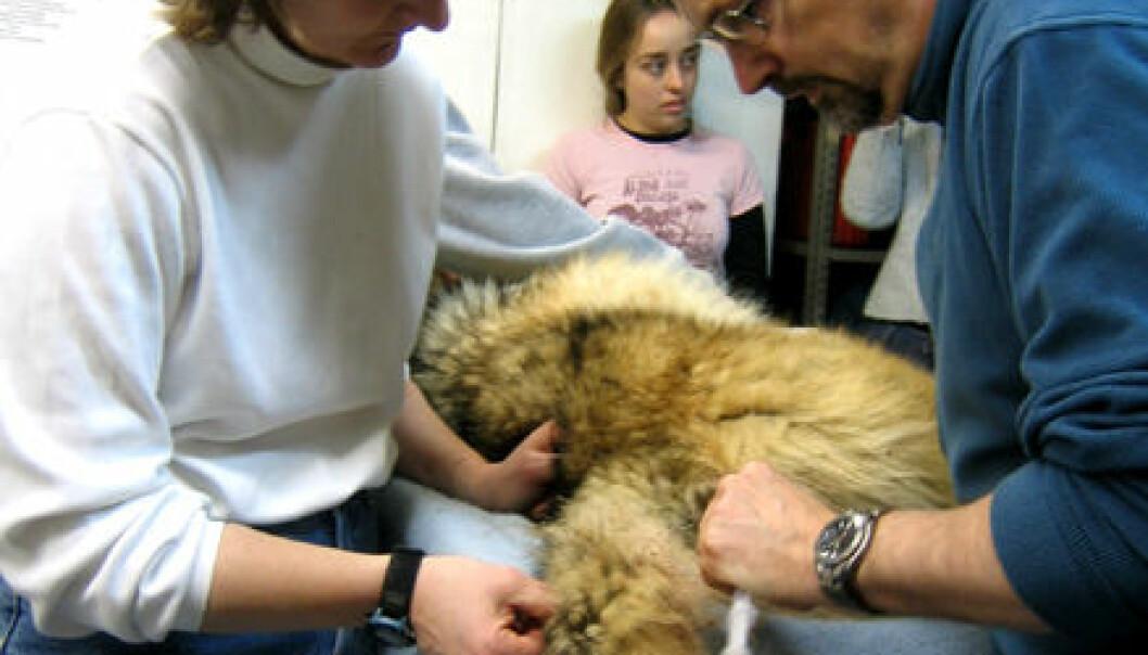 Redder utryddingstruet ulv