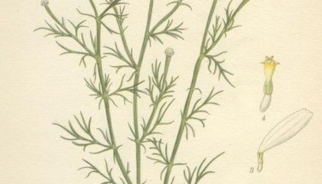 """""""Matricaria recutita, eller tysk kamille, er en 20-30 centimeter høy blomsterplante. Uttrekk av blader og blomster brukes til å lage kamillete. (Foto: Wikipedia)"""""""