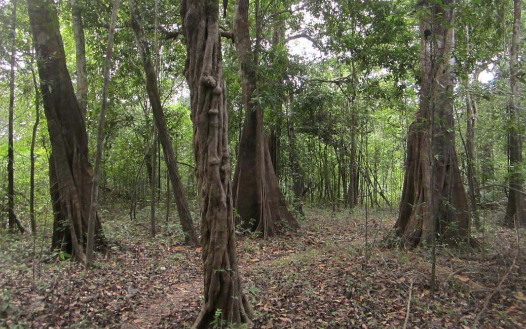 Skog i Juruá-området i Amazonas.