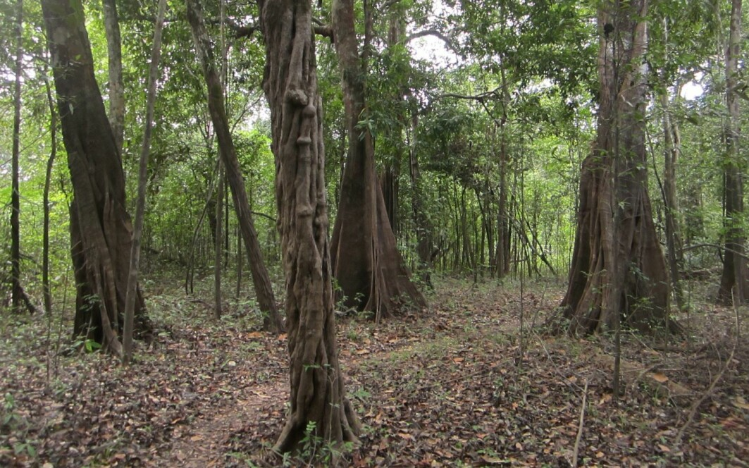 Forest in the Juruá area, Brazilian Amazonia.