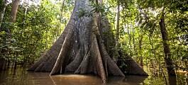 Forskerne klarer ikke å beregne hvor mye karbon som blir lagret i Amazonas