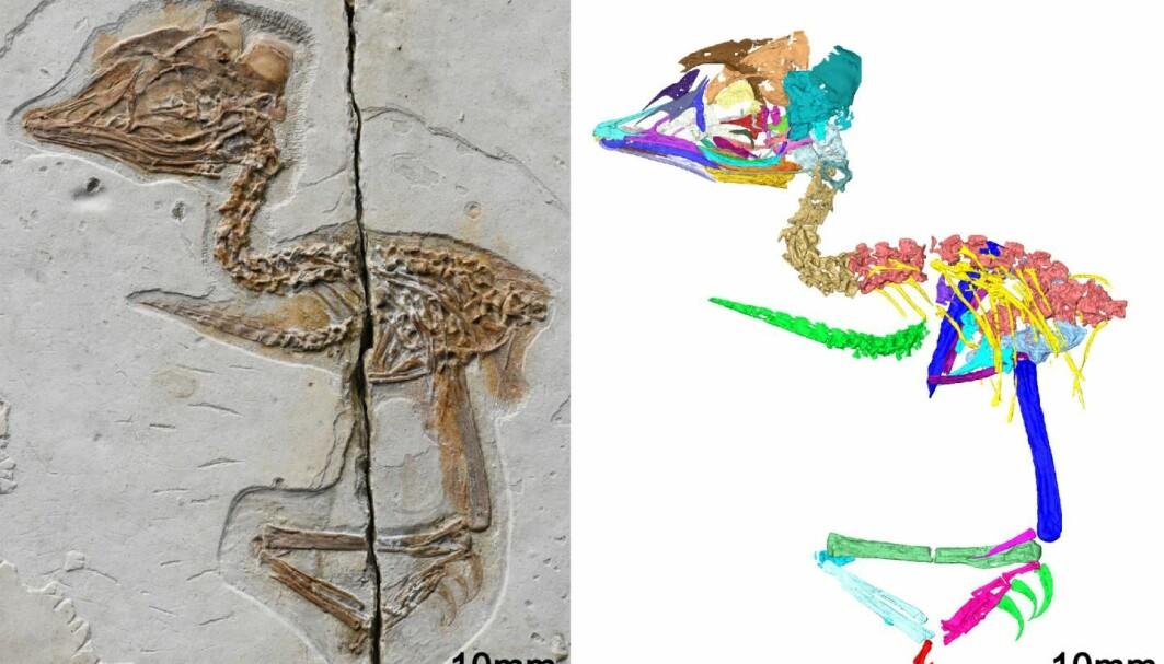 Ta en titt på hodepartiet. Dette ser vel ikke ut som en helt vanlig fugl? Fossil til venstre, og datategning til høyre.