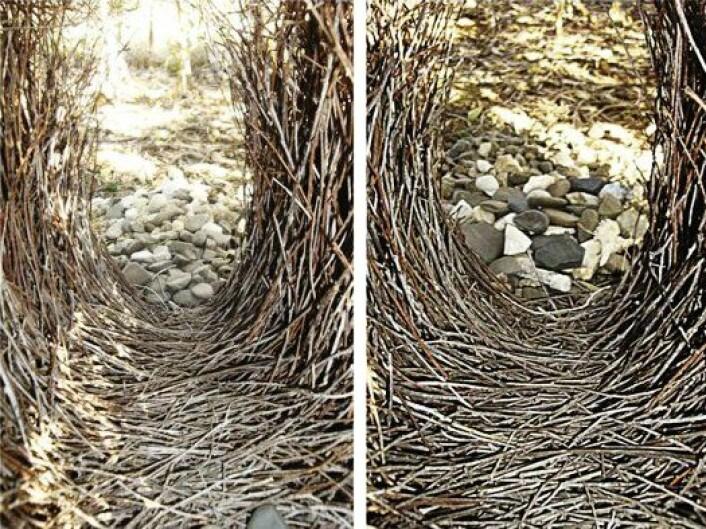 Er du enig med fuglen? Grågartneren hadde lagt de små steinene nærmest portalen, som på bildet til venstre. Bildet til høyre viser hvordan det så ut etter at forskerne hadde tuklet med steinene. Tre dager etter hadde fuglen omorganisert, slik at stedet igjen så ut som på bildet til venstre, ifølge forskeren, John Endler. (Foto Cell Press,