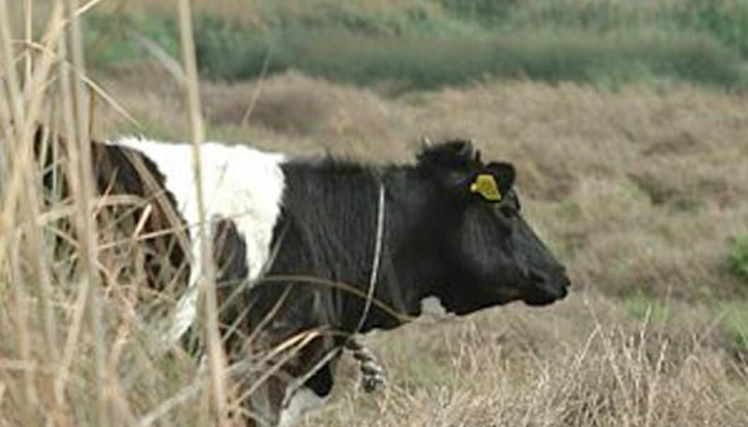 Kvalitet og fruktbarhet er viktig i økologiske dyrkingssystemer, der husdyrgjødsla er hovedkilden for plantenæringen. (Foto: Morten Günther)
