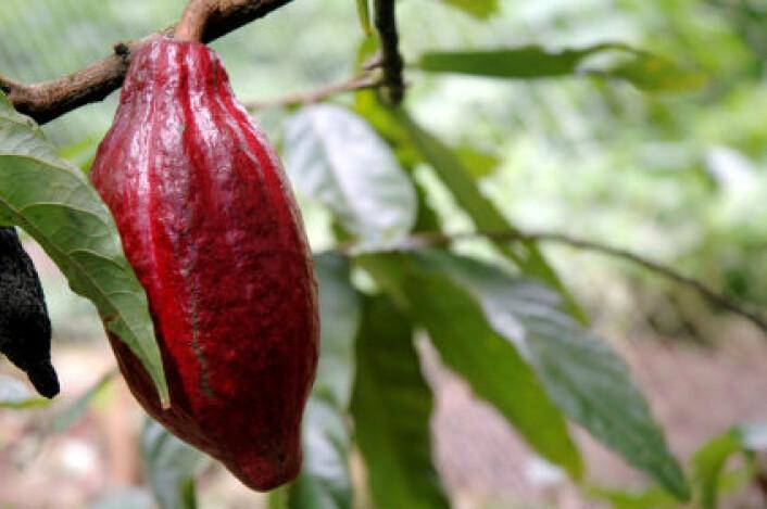 Kakaofrukt. (Foto: iStockphoto)