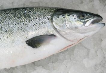 Forskere tror at nivået av omega-3 i laksen vi spiser, bestemmes av en kombinasjon av laksens gener og fôret den spiser. (Foto: Kjell Merok, Nofima)