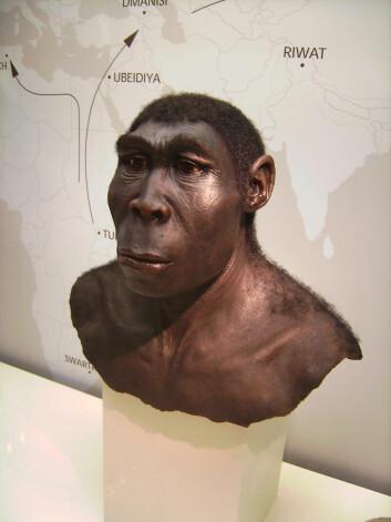 Modell av hvordan Homo erectus kan ha sett ut.(Foto: Wikimedia Commons)