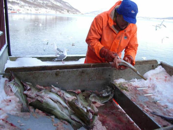 Fjordfiskere i Finnmark og Troms utnytter ressurser som er under press. Ansgar Hansen fra Manndalen i Kåfjord kommune i Troms sløyer torsk fra Lyngenfjorden. (Foto: Camilla Brattland)