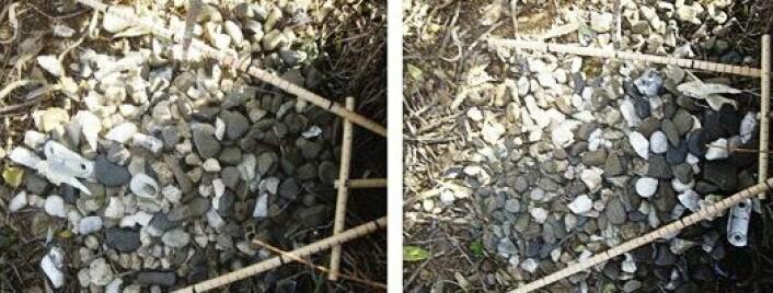 Steinplasseringen til grågartneren til venstre. Den er ikke til å tulle med, slik forskerne har gjort til høyre. Etter tre dager var steinene tilbake på plass, ifølge forskerne. (Foto: Cell Press)