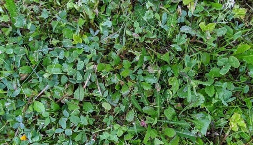 Har du ein slik plen som nabo Øyvind, er det berre å la graset gro! Det gjer han i blant, og då tittar både prestekrage, raudkløver, kvitkløver og ryllik opp, til glede for folk og for insekt i nabolaget. Foto: Inger Auestad.