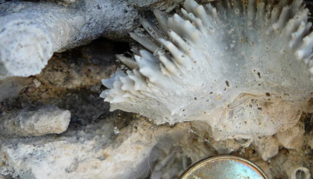 Detaljer fra korallrev, Vanuatu i Sør-Stillehavet. Datert til eldre kvartær, for rundt 30 000 år siden. Mynten er 1,5 centimeter i diameter. (Foto: W. Kiessling)