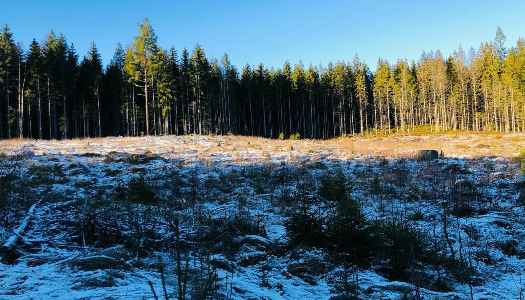 Ståle Pinslie er fra gammel tømmerhuggerfamilie og han er kritisk til den moderne flathugsten i Nordmarka.