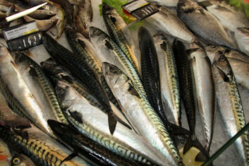 2009 var et godt år for makrellforedlerne. (Foto: Frank Gregersen)