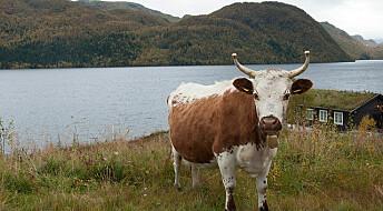 Gamle norske kuraser kan gi bedre ost