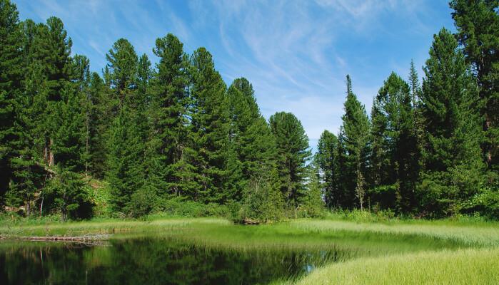 Klimaforskere syns det er fint at skogen i Russland bli større. Spørsmålet er bare om det vil vare.