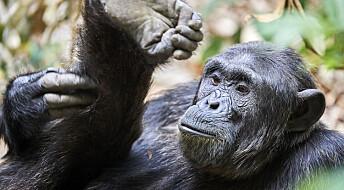 Sjimpansenes føtter har et godt grep om toppen av livets tre