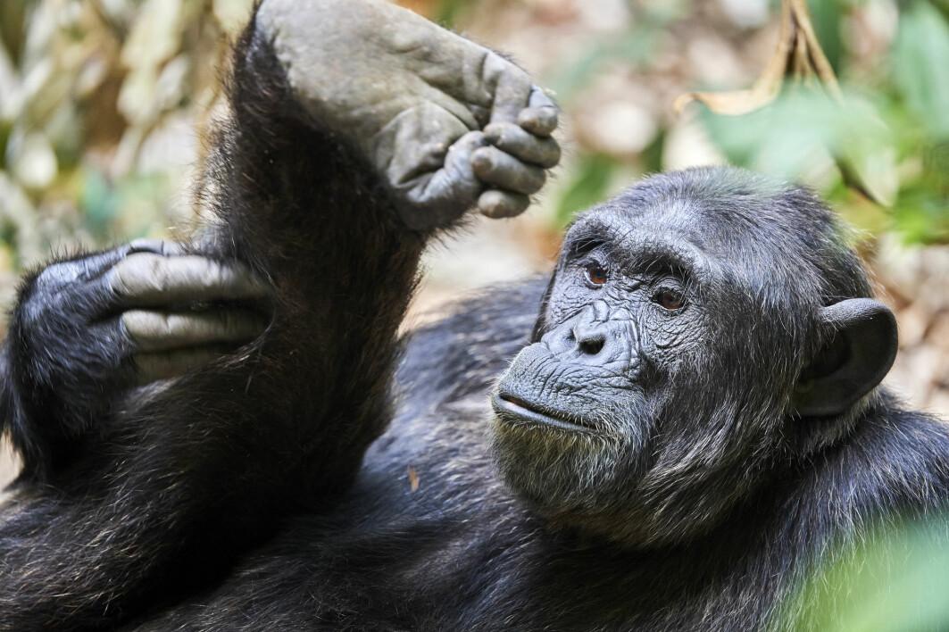 En sjimpanse klør seg på foten i en nasjonalpark i Uganda.