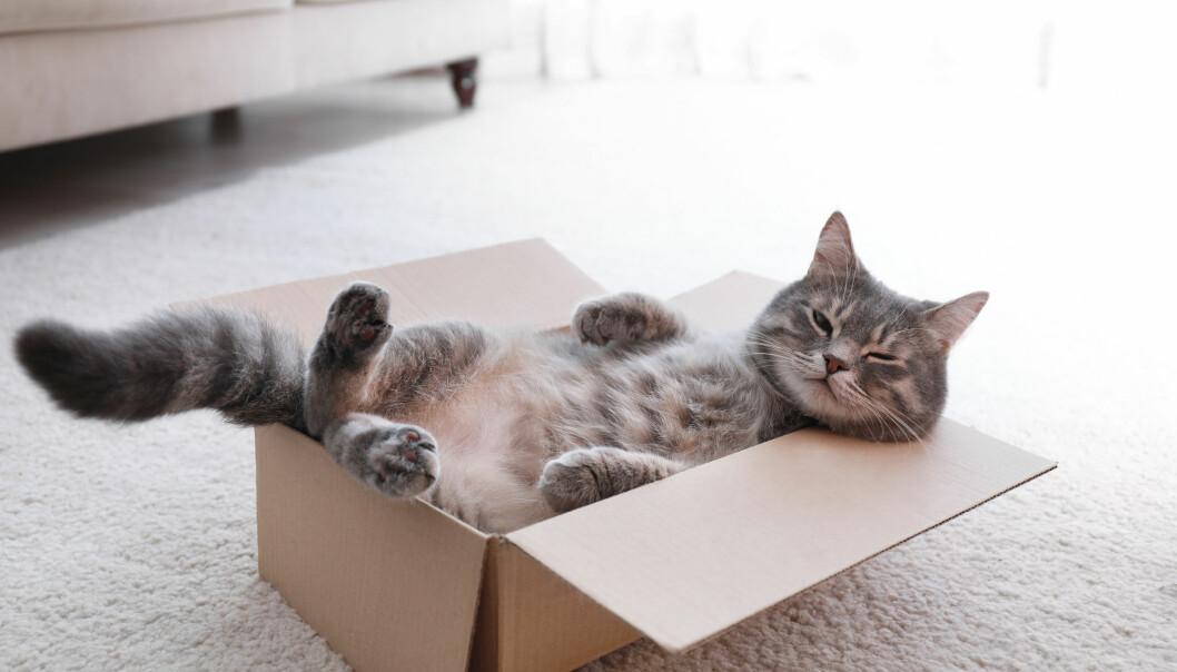 Mange katter har fått mye mer oppmerksomhet under koronapandemien fordi vi har vært så mye hjemme. Forskning kan tyde på at de har satt pris på det.