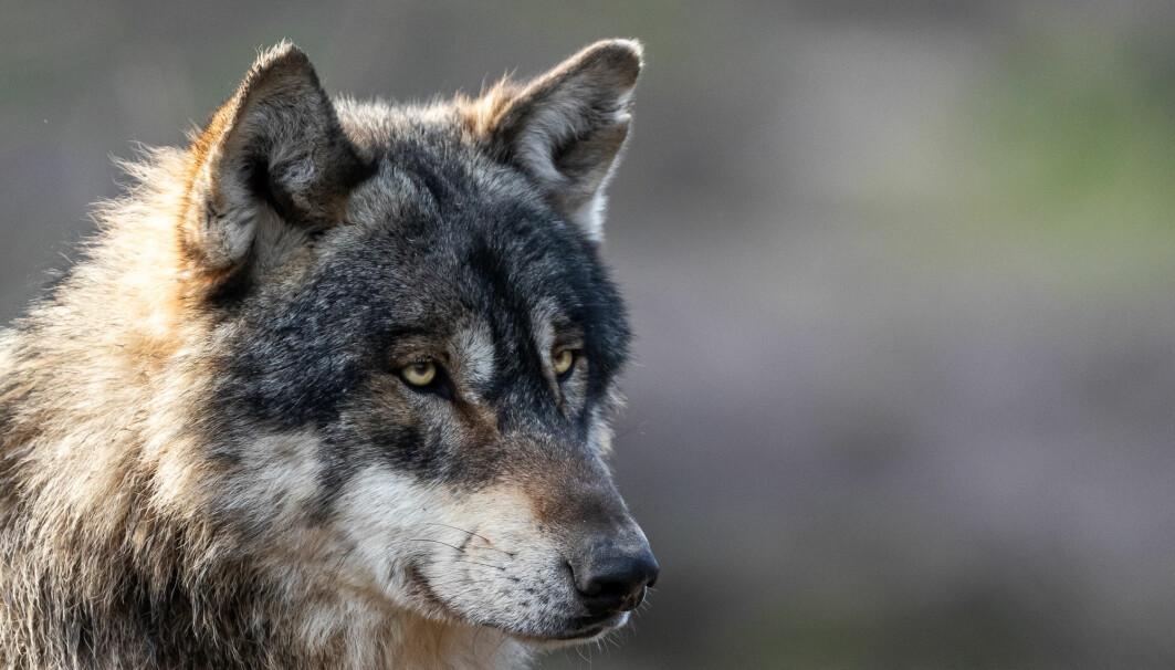 Ulven er den mest kontroversielle av alle rovdyrene, viser en svensk undersøkelse. Men selv den er mer populær enn upopulær i Norge og Sverige.