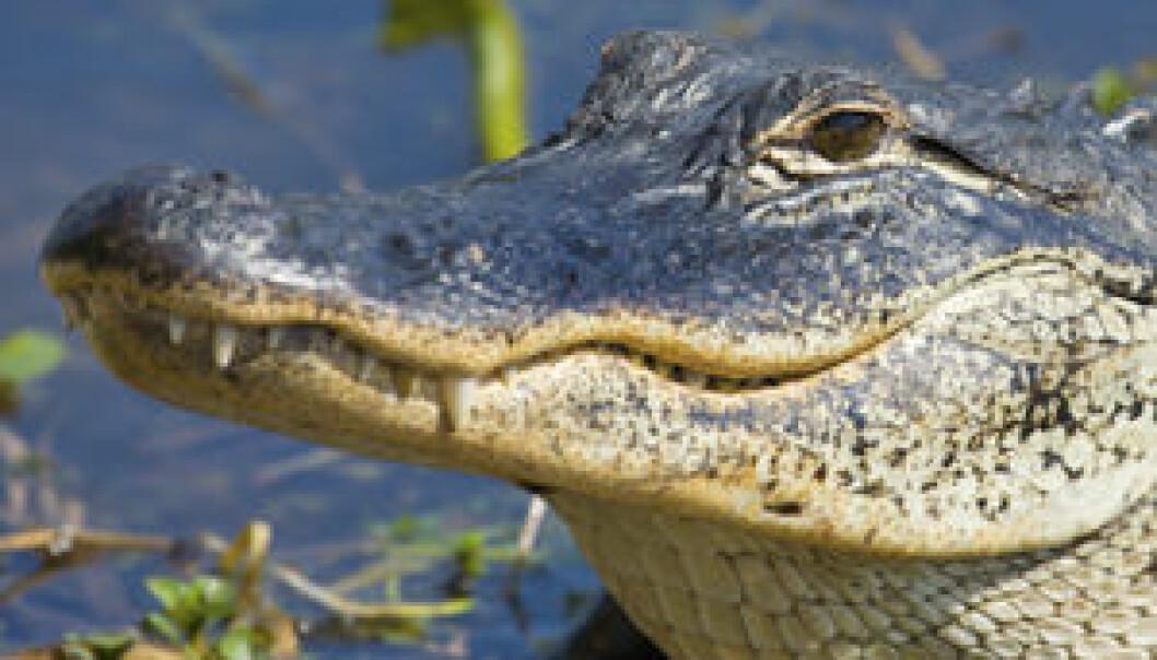 Alligator. (Foto: iStockphoto)