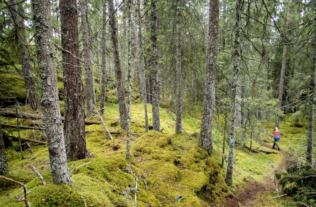Vi ligger etter på bærekraftsmålet om biologisk mangfold, ifølge regjeringen selv. Det er fordi vi vet for lite om hvordan for eksempel skogbruket vårt påvirker det, mener professor Gunnar Austrheim.