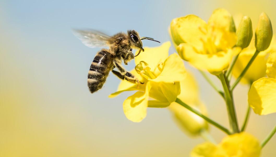 Raps er en viktig blomst for naturens driftige pollinatorer, biene.