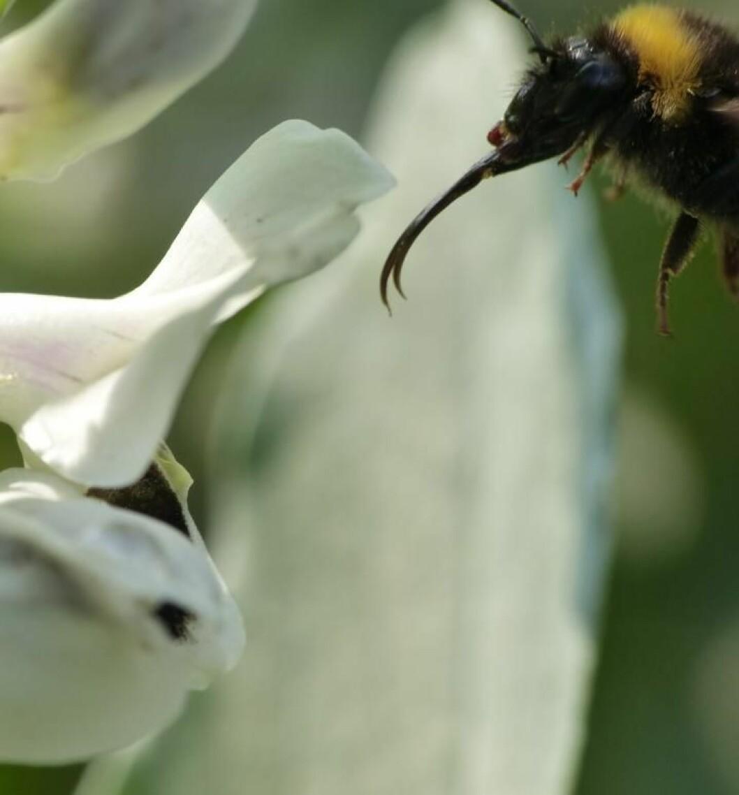 Humler med lang tunge er glade i bondebønne-blomster.
